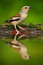 Beautiful songbird hawfinch coccothraustes coccothraustes brown songbird sitting in the water nice lichen tree branch bird in Stock Image