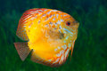 Beautiful South American fish Discus in aquarium Stock Images