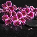Beautiful spa concept of blooming dark purple geranium flower an Royalty Free Stock Photo