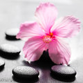 Beautiful spa concept of pink hibiscus flower on zen basalt ston Royalty Free Stock Photo
