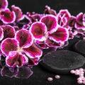 Beautiful spa setting of blooming dark purple geranium flower Royalty Free Stock Photo