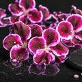 Beautiful spa setting of blooming dark purple geranium flower an Royalty Free Stock Photo