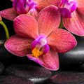 Beautiful spa still life of blooming twig red orchid flower, pha Royalty Free Stock Photo