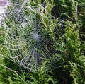Beautiful spiderweb covered in glistening drops of dew on green tree in the background.