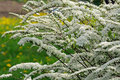 Beautiful Spiraea (Meadowsweet) Shrub with Flowers Royalty Free Stock Photo