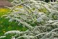 Beautiful Spiraea (Meadowsweet) Shrub with Flowers