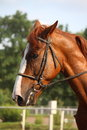 Beautiful sport horse portrait during dressage test Royalty Free Stock Image