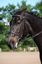Beautiful sport horse portrait during dressage test Royalty Free Stock Photo