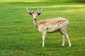 Beautiful spotted fallow deer buck standing sideways in a lush green meadow looking alertly at the camera Stock Photos