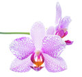 Beautiful spotted lilac orchid is isolated on white closeup Royalty Free Stock Photos