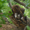 Beautiful Spotted Owlet family bird perching in nest Royalty Free Stock Photo