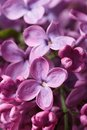 Beautiful sprig of fragrant pink lilac blossoms. closeup Royalty Free Stock Photo