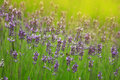 Beautiful sprigs of lavender Stock Image