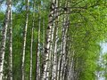 Beautiful spring birch with fresh green leaves Royalty Free Stock Photography