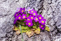 Beautiful spring blooming  primroses in a bark of a tree Royalty Free Stock Photo