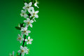 Beautiful spring blossom on green background. studio shot Royalty Free Stock Photo