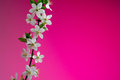 Beautiful spring blossom on pink background. studio shot Royalty Free Stock Photo