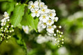 Beautiful spring blossoming bird cherry tree with low dof Royalty Free Stock Photo