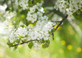 Beautiful spring blossoming tree background selective focus Stock Images