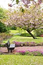 Beautiful spring with cherry tree and wooden bench flowers Stock Photos