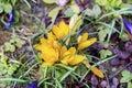 Beautiful Spring crocus chrysanthus yellow flowers Royalty Free Stock Photo