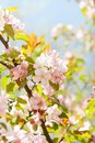 Beautiful spring floral nature landscape. Blossoming fruit tree branch in the garden, pink petal flowers in the rays of Royalty Free Stock Photo