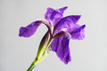 Beautiful spring flower open petal. Purple iris bloom. Blooming flower Royalty Free Stock Photo