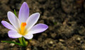 Beautiful spring flower, shallow depth of field Royalty Free Stock Photo