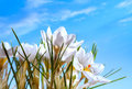 Beautiful Spring Flowers on blue sky background Royalty Free Stock Photo
