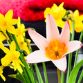 Beautiful spring flowers daffodils and a pink lily coulourful flower arrangement Stock Images