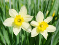 Beautiful spring flowers narcissus Stock Photo
