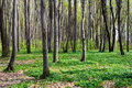 Beautiful spring forest Royalty Free Stock Image