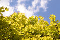Beautiful Spring forest. Young green leaves of the maple trees against bright spring blue sky and sun . Royalty Free Stock Photo