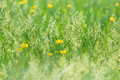 Beautiful spring grass and little yellow flowers in focus in Royalty Free Stock Photography