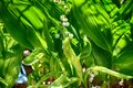 Spring May lily of the valley growing among green leaves in a gr