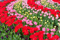 Beautiful spring red pink flowers keukenhof park netherlands holland colorful tulips flowerbed background Stock Photo
