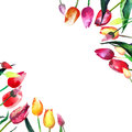 Beautiful spring tulips in a frame watercolor hand sketch Royalty Free Stock Photo