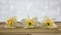 Beautiful springtime daffodils close up sparkle background Royalty Free Stock Image