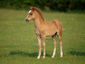 Beautiful standing foal a young stands by itself in a paddock Royalty Free Stock Photos