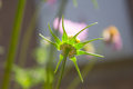 Beautiful star shape sepal on a flower bud green Stock Images