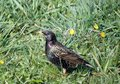 One starling bird on green grass, Lithuania Royalty Free Stock Photo