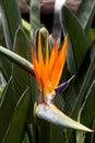 Beautiful Sterlitzia flower Royalty Free Stock Photo
