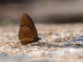 Beautiful The Striped Blue Crow butterfly eat mineral in nature Royalty Free Stock Photo