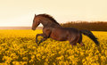 Beautiful strong horse galloping, jumping in a field of yellow flowers of rape against the sunset