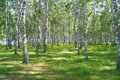 Beautiful summer birch grove Stock Images