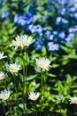 Beautiful camomiles on the flowerbed Royalty Free Stock Photo