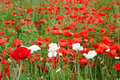 Beautiful summer field with red poppies and white flowers on green grass Stock Image