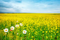Beautiful summer field with yellow flowers and daisies.