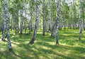 Beautiful summer landscape in birch grove Royalty Free Stock Photo