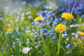 Beautiful summer meadow with flowers dandelions and forget-me-nots, lovely landscape of nature Royalty Free Stock Photo